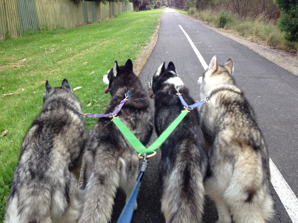 happy pack walk yesterday- Ishka, Frankie, Bolo and Czar on the right