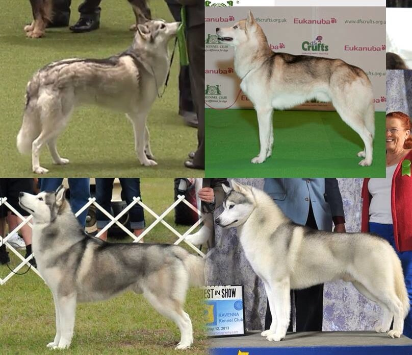 Apologies - I can't remember who put this image together - but it shows some of the variation found in show ring Siberians.