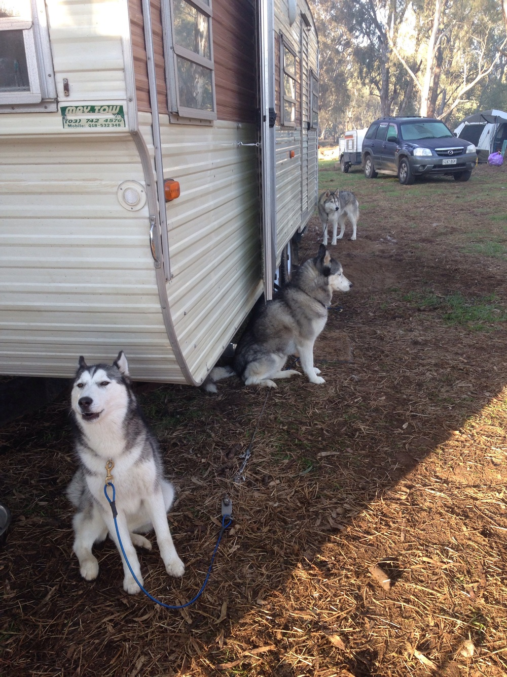 Mia, Ishka and Czar on stake out. (Bolo made himself a nice spot under the caravan.)