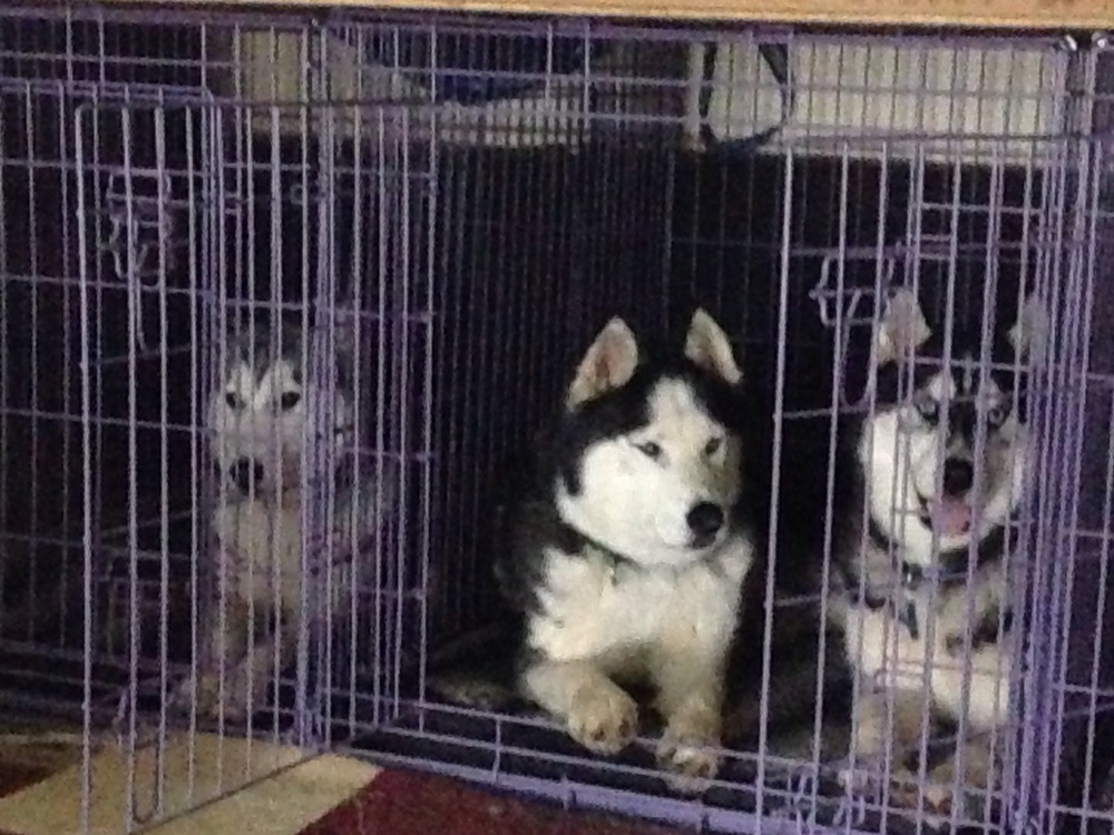 Mia demonstrates what she's learnt about crate training, while Bolo and Frankie double up.