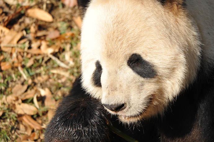 It's a panda miracle!