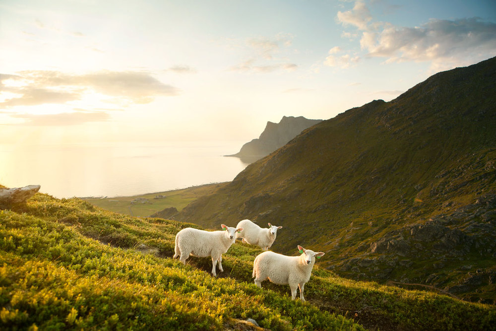 CB_port_MG_4294_Sheep_w4_RGB.jpg