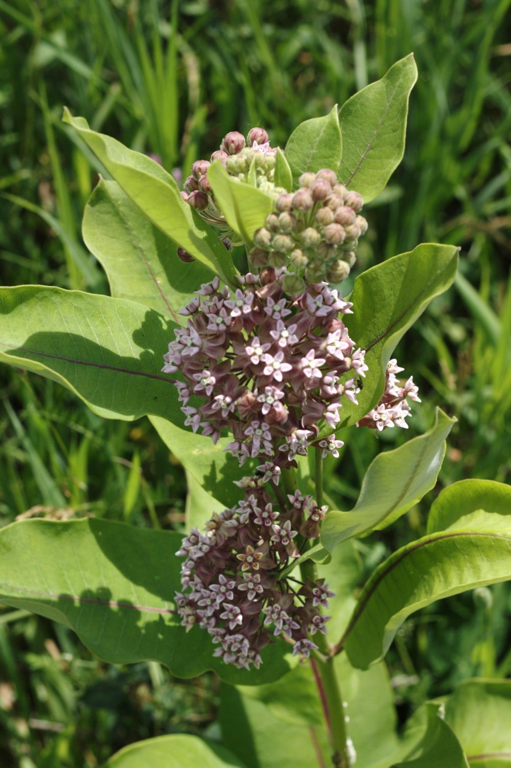 Common Milkweed.