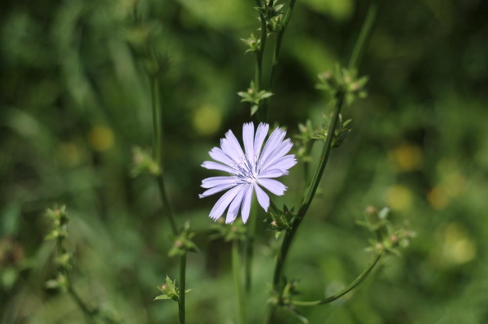 Chicory.