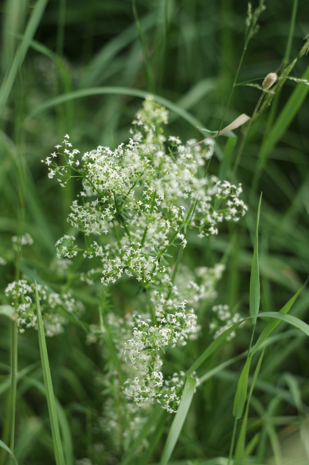 Bedstraw (identified with help of Ms Froken Skicklig).