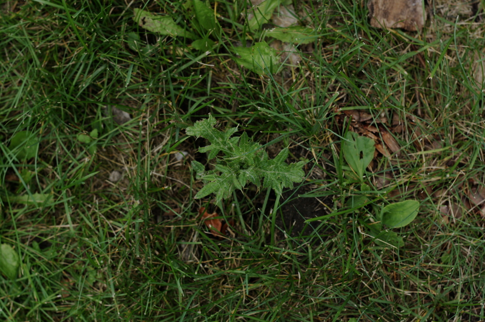 First year thistle. No pretty blooms just yet…and I doubt the lawn mower will let it grow...
