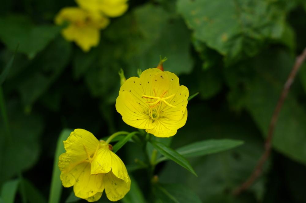Yellow Sundrops.