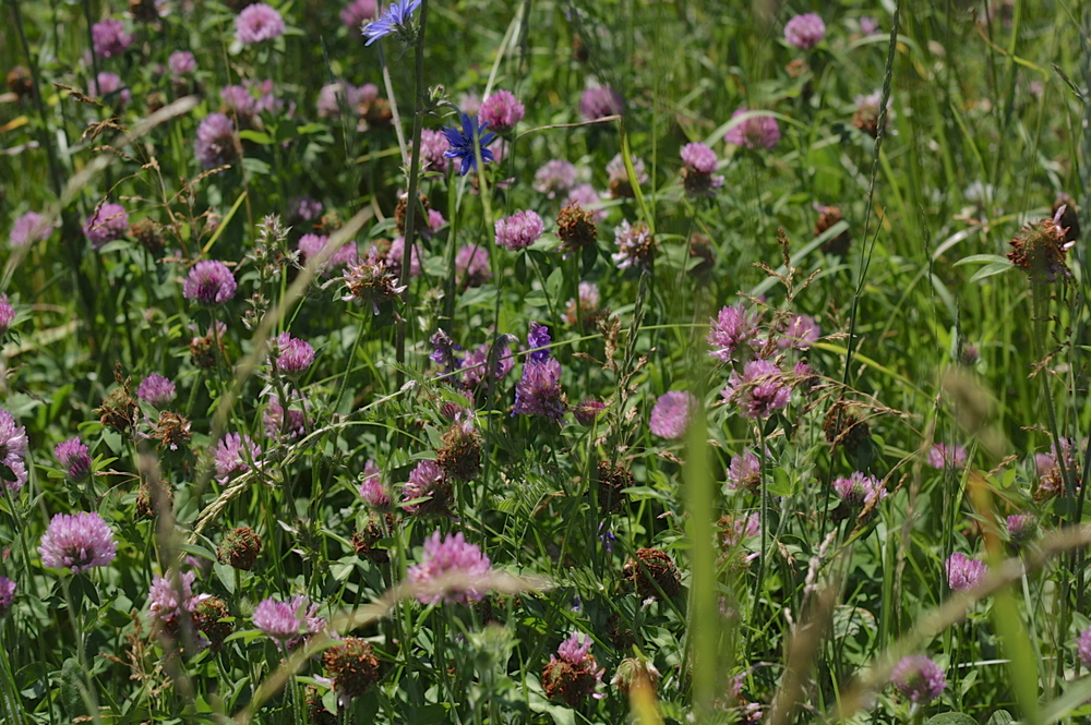 red-clover-meadow.jpg