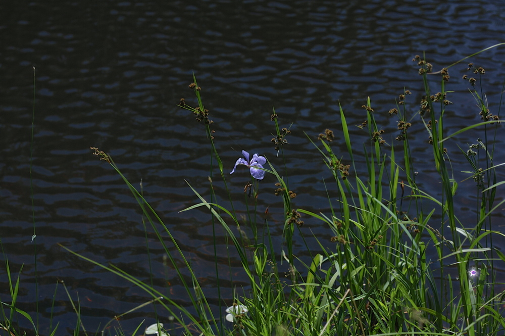 lonely-iris.jpg