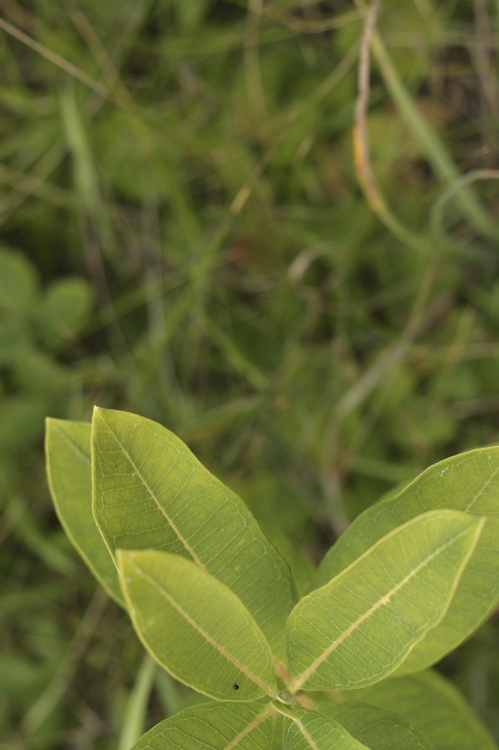 Milkweed.