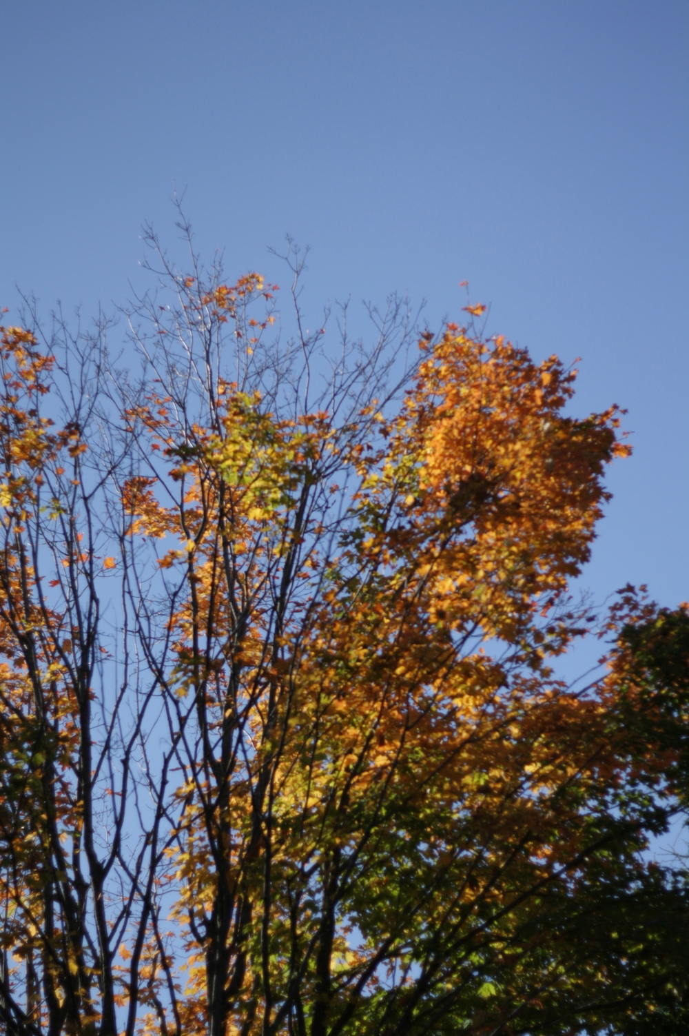 One of the many maples close to us, by Fig and Me.