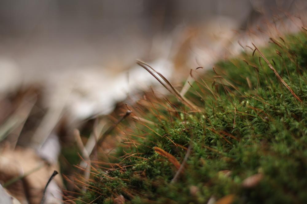 haircap-moss.jpg