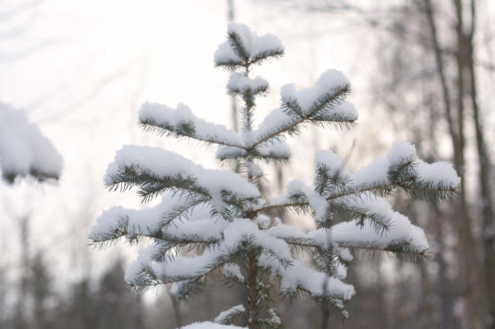 snow-laden-trees.jpg