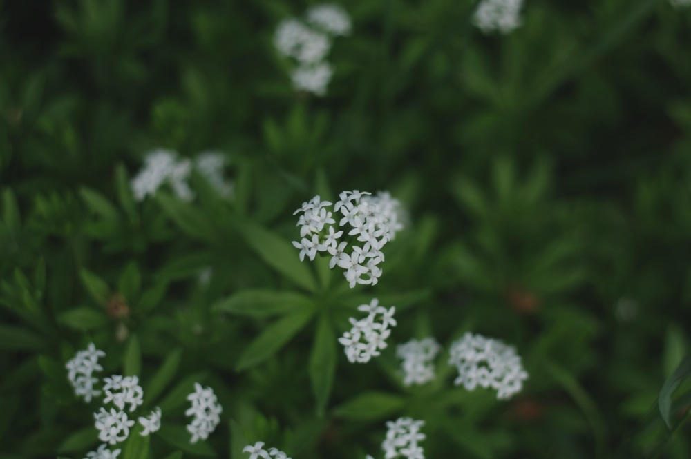 Sweet smelling woodruff, by Fig and Me.
