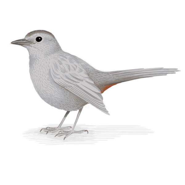 grey catbird.jpg