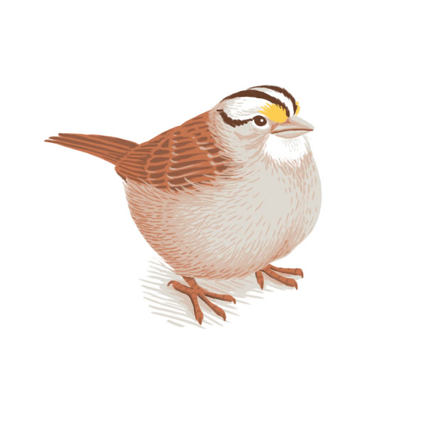 white throated sparrow.jpg