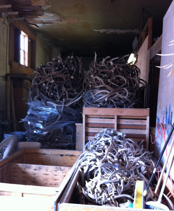 Over 150,000 pounds of antlers are collected in this Buhl shop and then sorted and shipped to pet food plants, used for home decor objects etc.  All of the antlers are naturally shed, only the mounted heads are from animals that are shot with permits.
