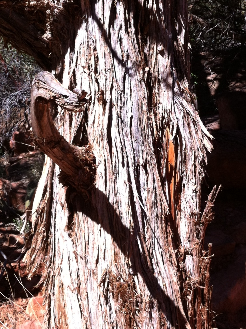 An example of the shedding bark of the one of the larger trees.