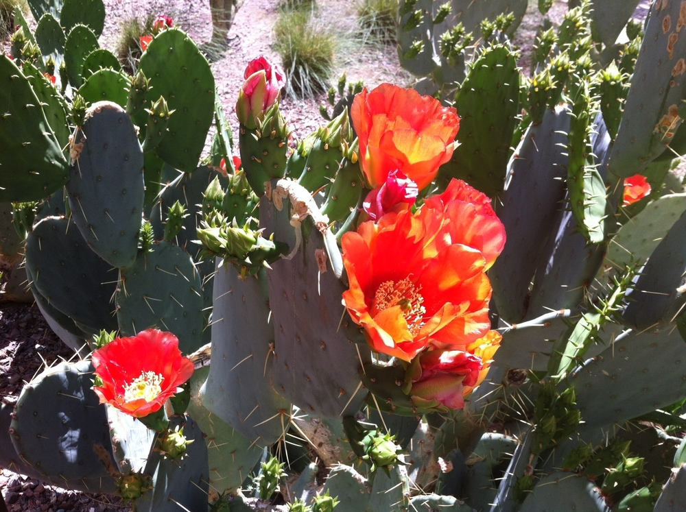 desert red flower.jpg