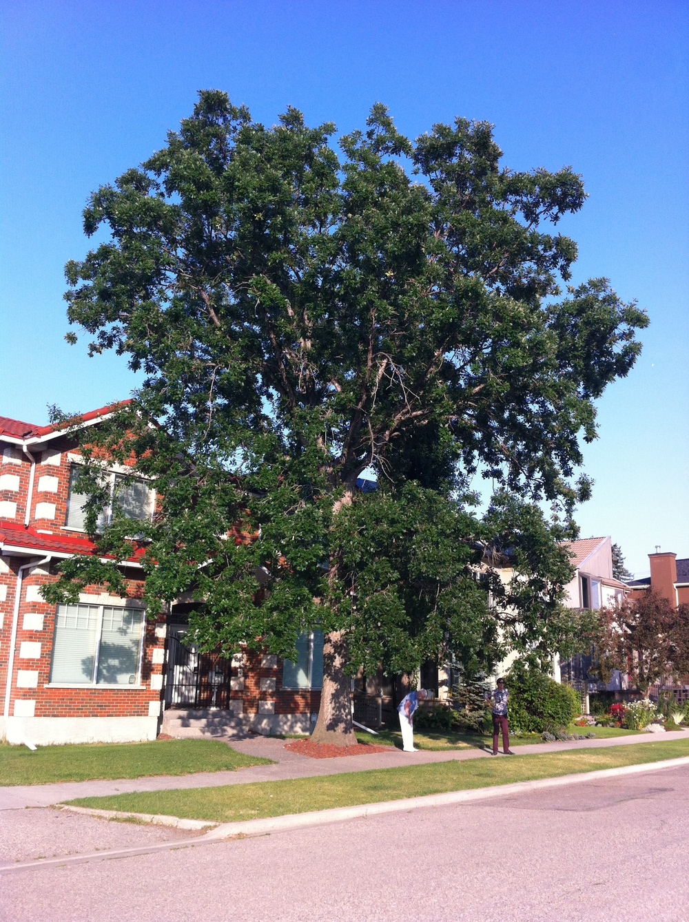 This Bur Oak is a heritage tree on Crescent Road was planted in 1937.