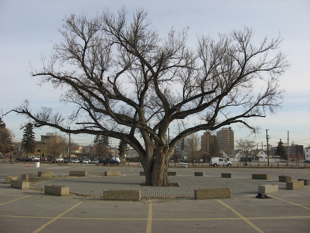 Heritage Elm tree in the middle of a Stampede PARKing lot.
