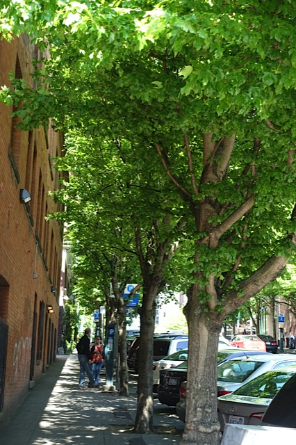 Typical tree lined street in Seattle's City Centre. There is a wonderful filtered sunlight on the sidewalks that enhances the pedestrian experience.