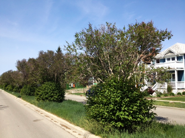 Unfortunately the historic lilacs along the boulevard of Bowness Road have not been properly cared for.
