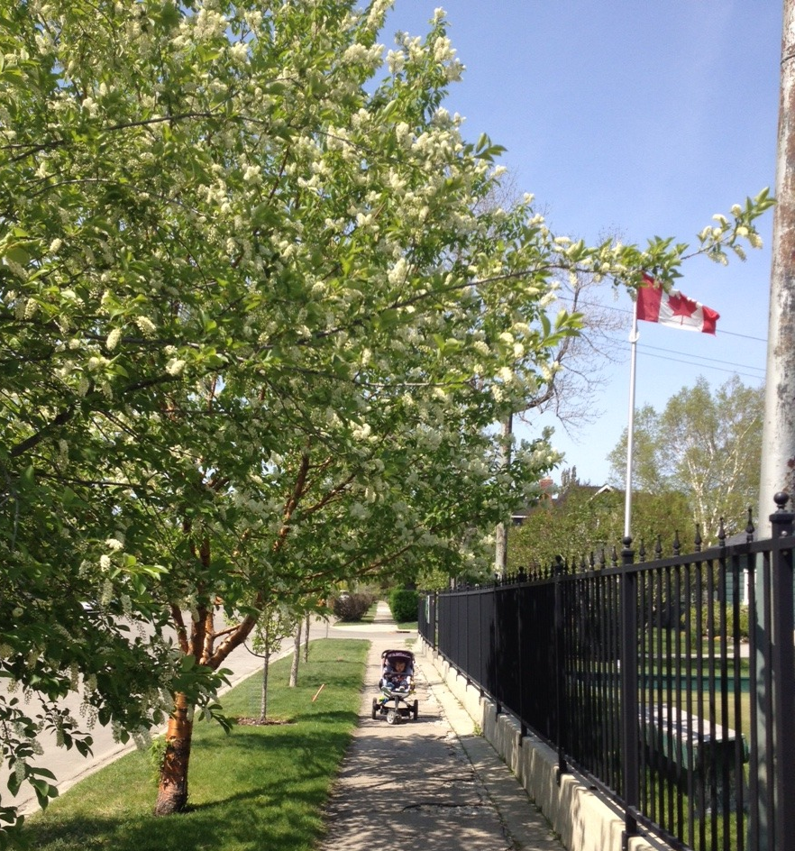 Today lilacs have fallen our of favour for new floweringornamental trees like these planted next to the Bow Valley Lawn Bowling Club. My friends at Ground3 Landscape Architecture tell me they are Amur Cherry trees.