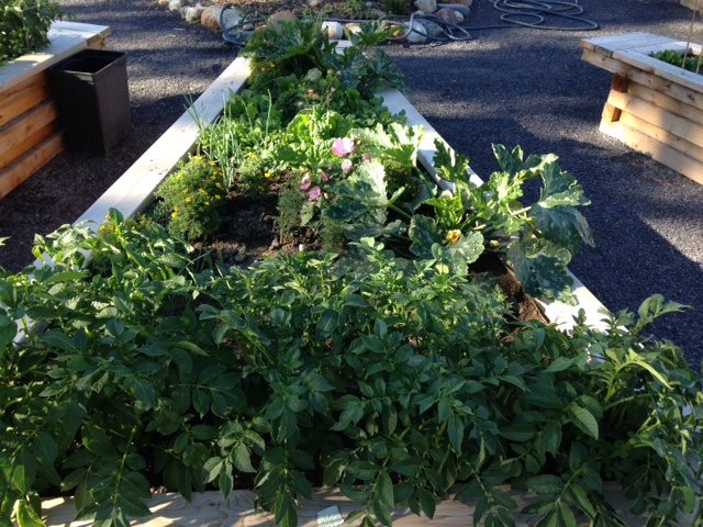 Parkdale's community garden's lush vegetable plots.