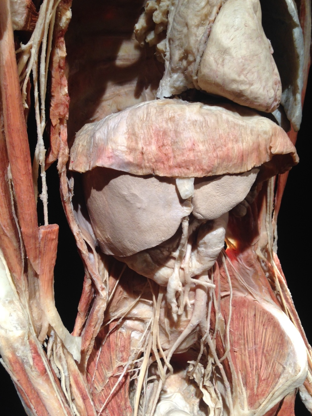 It was enlightening to see how all of our internal organs fit together so neatly and compactly.