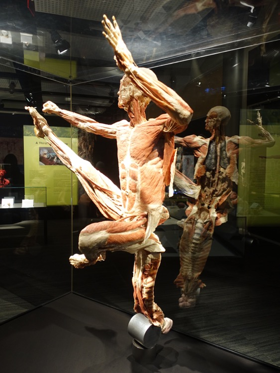 The first full figure you are confronted with is this jumping male ballet dancer in mid-air. The piece is held up by the peeling back of the spinal cord to reveal all of the inner organs and muscles. It is a very powerful piece.