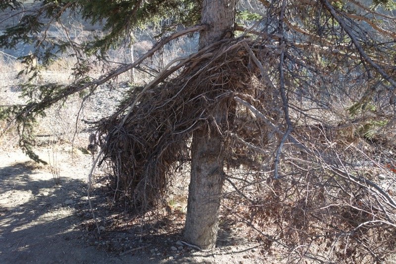 Found this debris still wrapped around a tree from the 2013 flood.