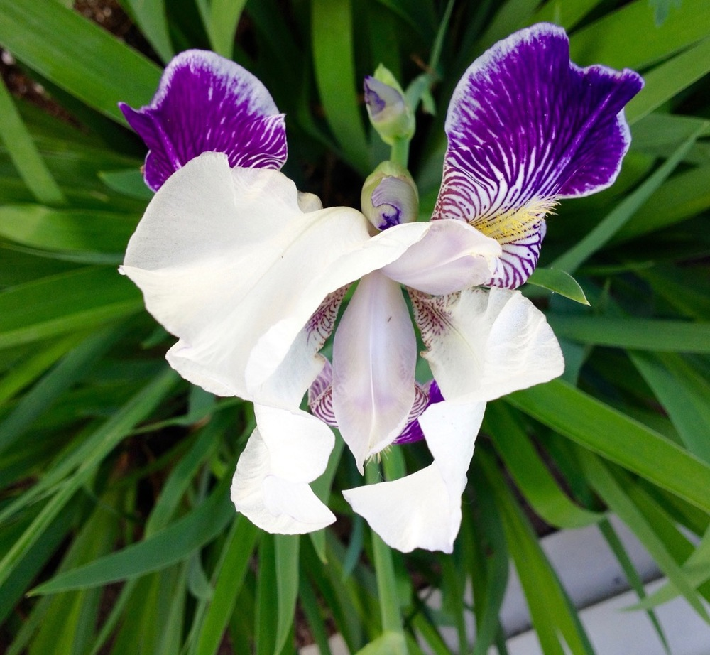 Irises have to one of the most erotic flowers.