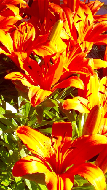It looked like these lilies were on fire one morning in June.