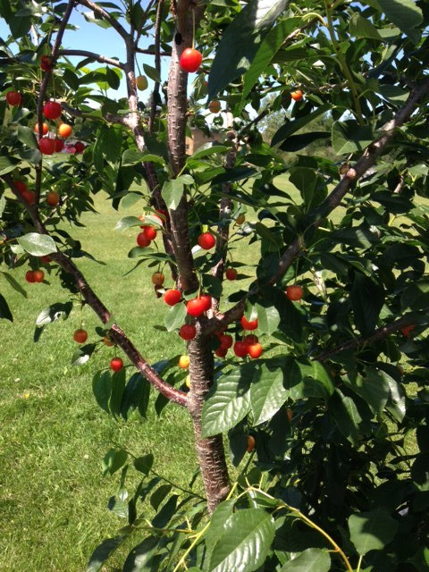 Banff Trail has a wonderful orchard as part of their upscale community garden.