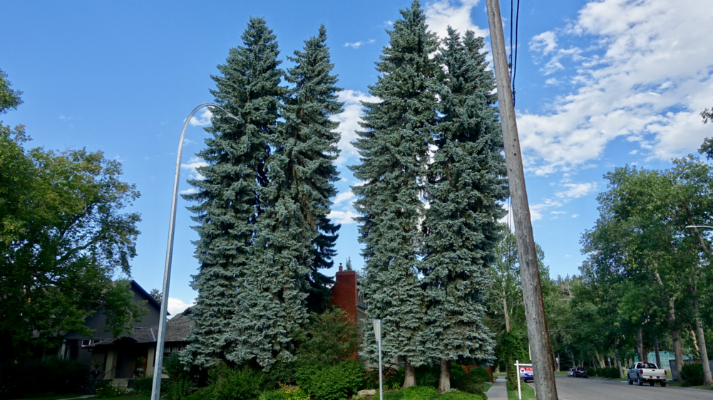 Calgary's older communities have some amazing trees. It hard to realize that 100 years ago these communities where part of the treeless prairies.