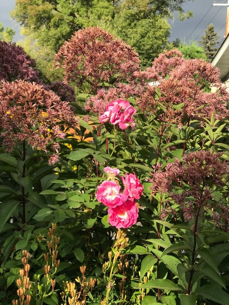My Joe Pye weed garden....