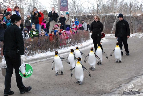 Calgary Zoo's penguin walk is very popular with families.