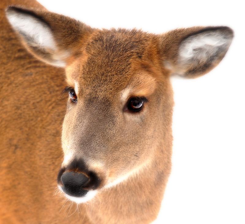 deer_1.jpg