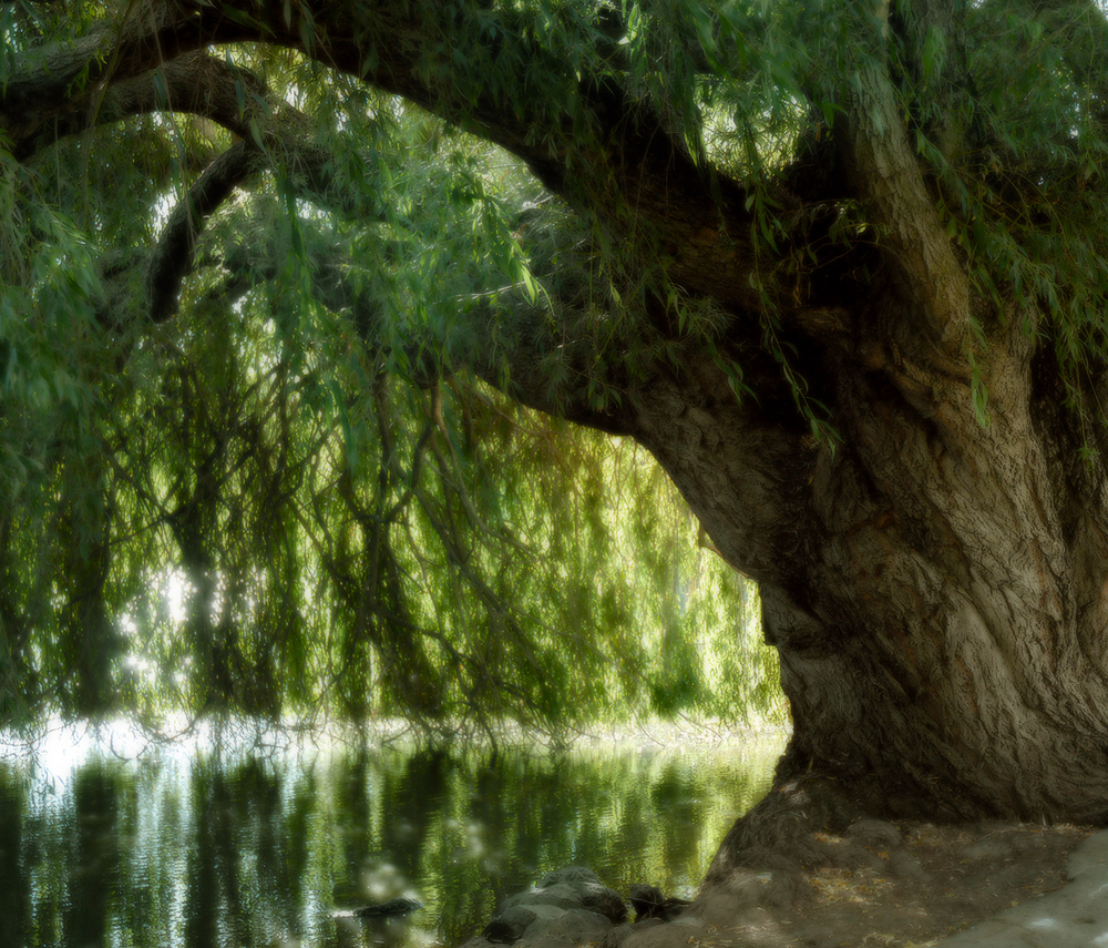 willow_tree copy.jpg