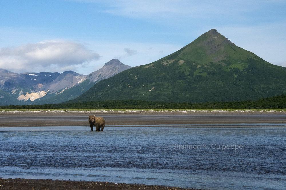 shannon_alaska_bear_volcano.jpg