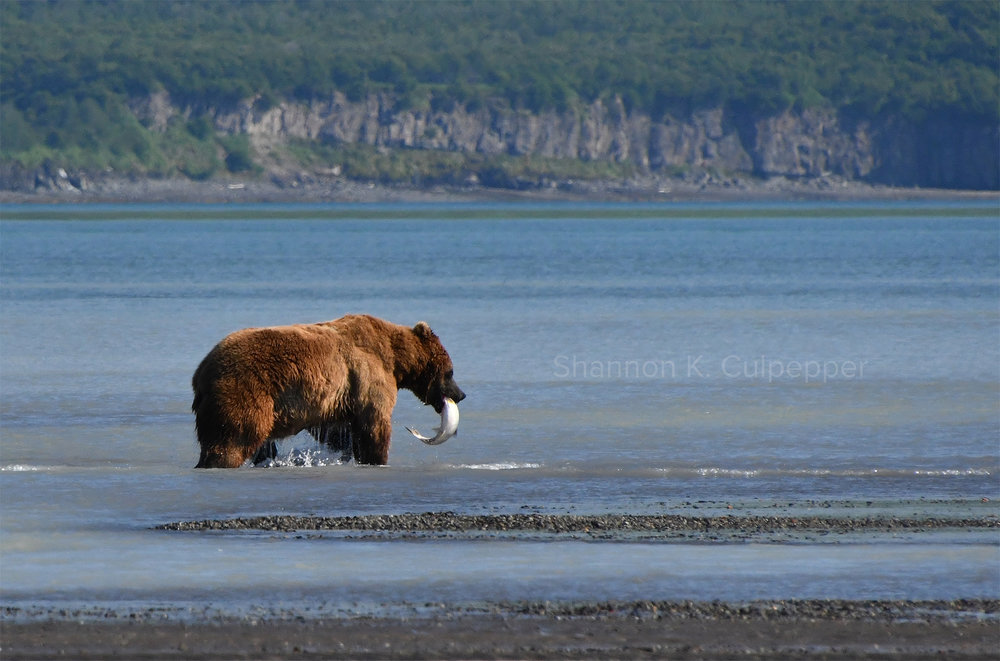 shannon_bear_fish_alaska.jpg
