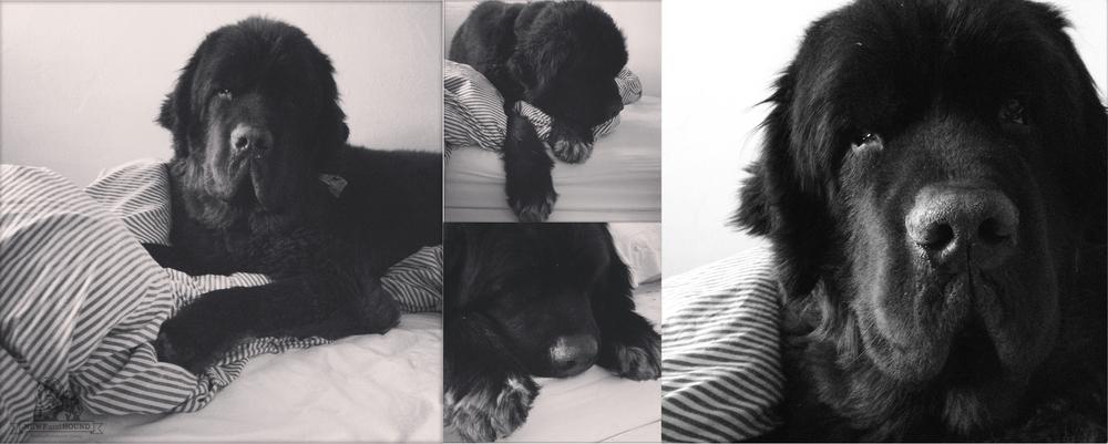 newfoundland dog, newfie, newfandhound, kidney disease