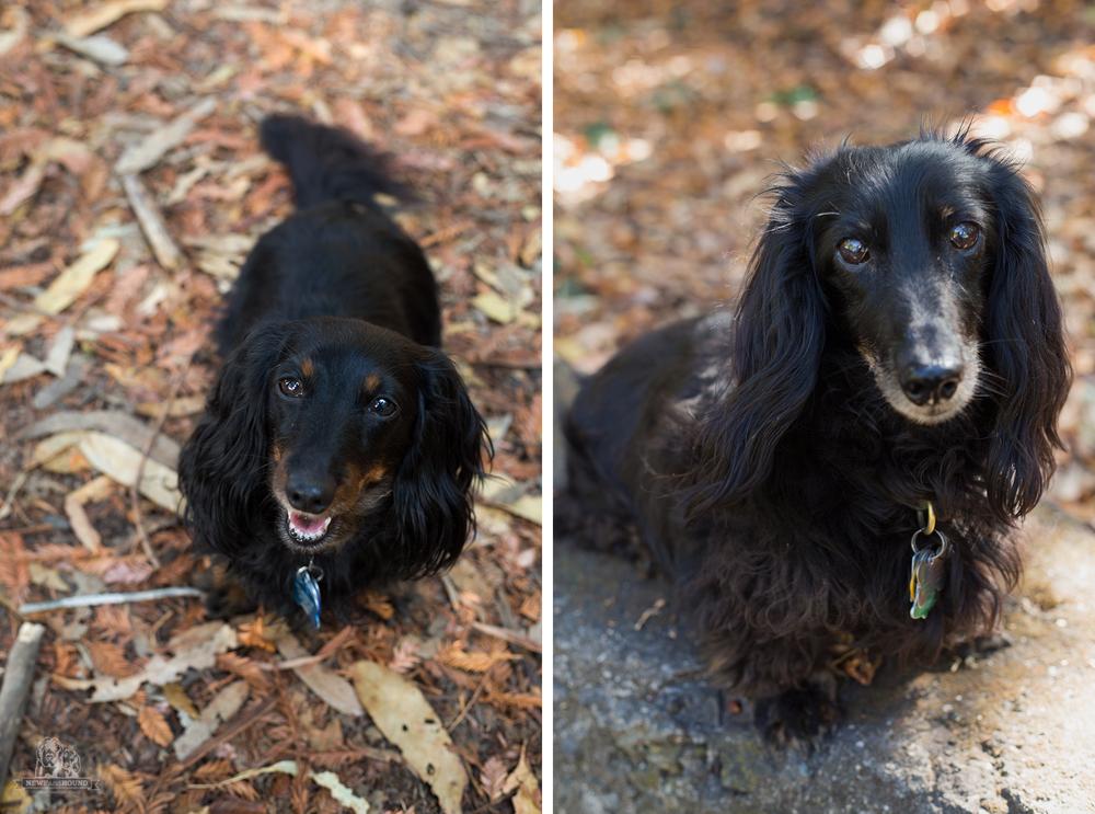 miniature dachshunds, dachshunds, longhair dachshunds, newfandhound