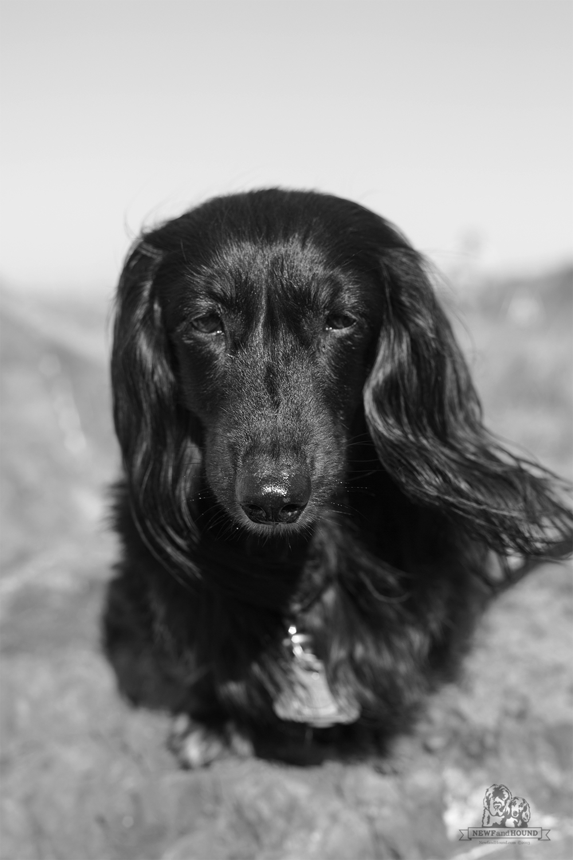 20131012_Rocks-at-Alvarado_0024.jpg, dachshund, miniaturelonghair dachshund, newfandhound