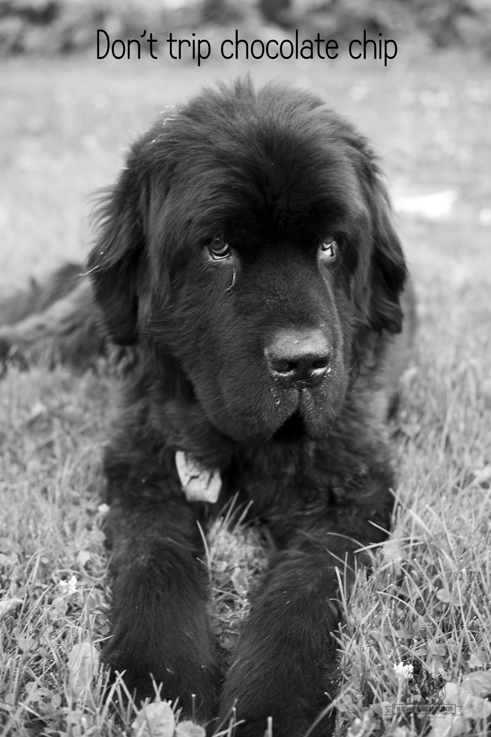 20131016_So-They-Say_Dont-trip_0078.jpg, newfoundland, newfoundland dog, quotes, dog, newfie