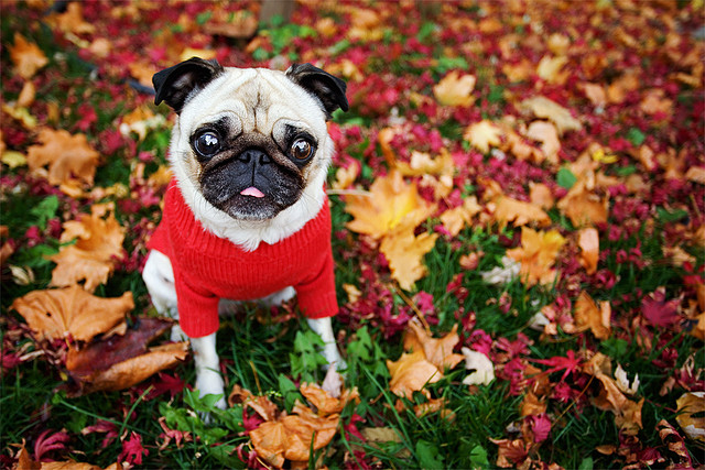 angiemckaig pug fall leaves.jpg