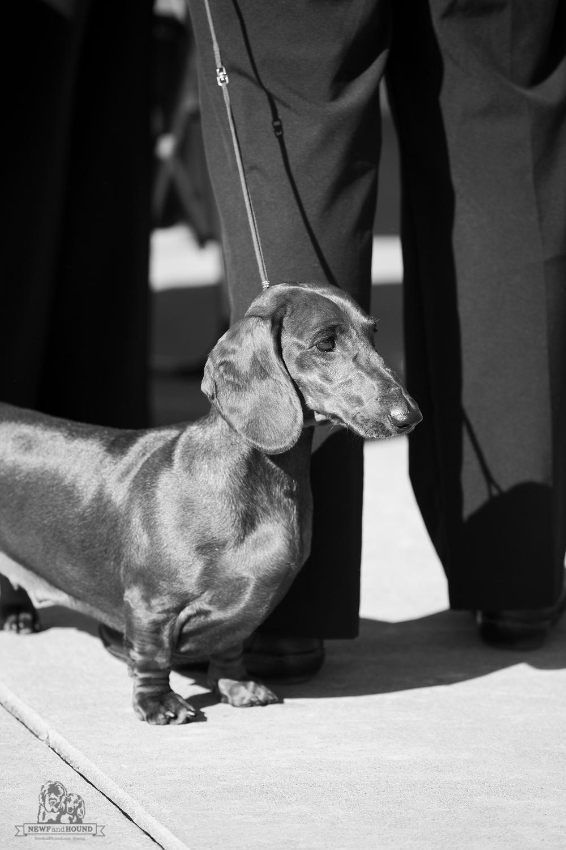 dachshund, newfandhound, standard dachshund.jpeg