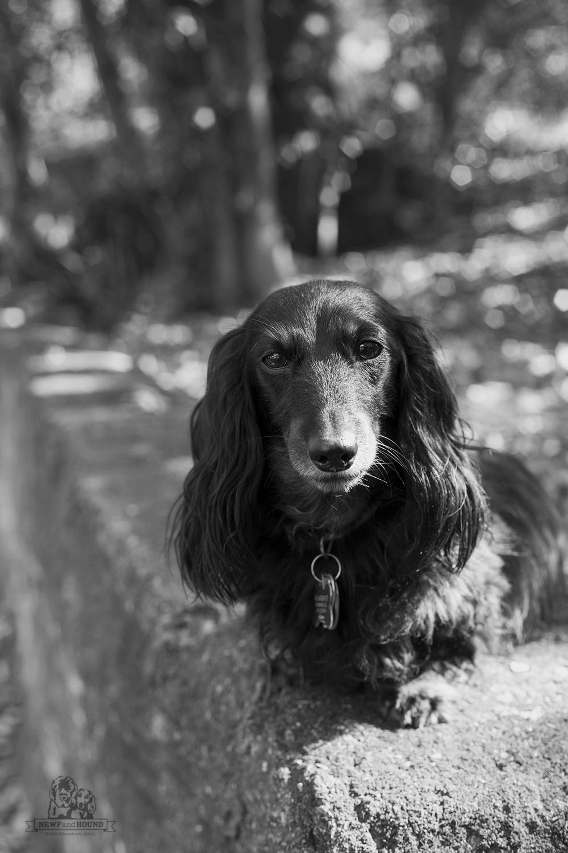 NewfandHound, dachshund, miniaturedachshund