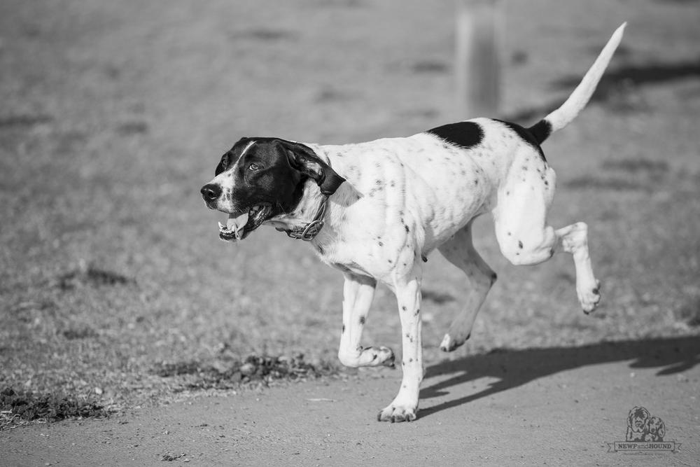 Berkeley Marina Dog Park, dog, rescue, NewfandHound